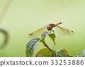 红蜻蜓 蜻蜓 昆虫 33253886