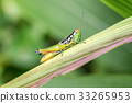 Closeup of Green grasshopper on a leaf. 33265953