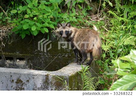 Raccoon 33268322