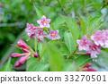 weigela hortensis, bloom, blossom 33270501