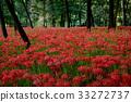 cluster amaryllis, bloom, blossom 33272737