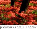 cluster amaryllis, bloom, blossom 33272742