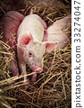 Cute baby pig in farm 33274047