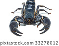 Scorpion isolated on white background 33278012