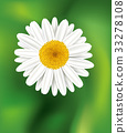 Chamomile flower background. Daisy flower 33278108