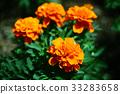 금잔화, 오렌지색, 꽃 33283658