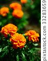 금잔화, 오렌지색, 꽃 33283659