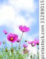 秋空に咲くピンクのコスモス 33289015