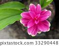Siam tulip flower 33290448
