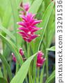 Siam tulip flower 33291536
