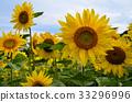 向日葵 太陽花 向日葵園 33296996