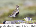 European golden plover 33298360