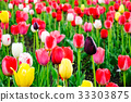 Tulip flowers on the field in Tohoku, Japan 33303875