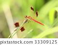 蜻蜓 帶狀鏢蜻蜓 蟲子 33309125
