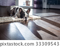 French bulldog lying down in sunny living room 33309543