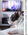 Adorable French bulldog lying down at the TV 33309708
