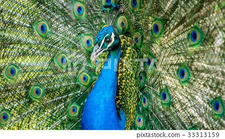 Male of Indian peafowl 33313159