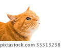Red cat isolated 33313238