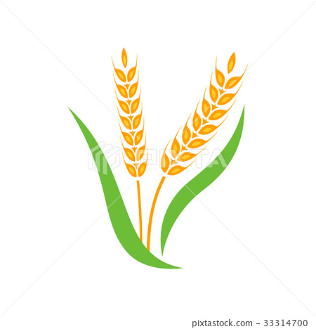 Wheat barley spike yellow isolated 33314700