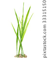 ear of rice, paddy, rice plant 33315150