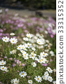 White and pink cosmos flowers filed 33315352