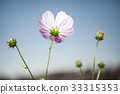 pink cosmos flowers filed 33315353