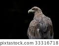 白尾海雕 猛禽 禽 33316718