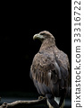 白尾海雕 猛禽 禽 33316722