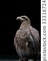 白尾海雕 猛禽 禽 33316724