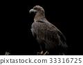 白尾海雕 猛禽 禽 33316725