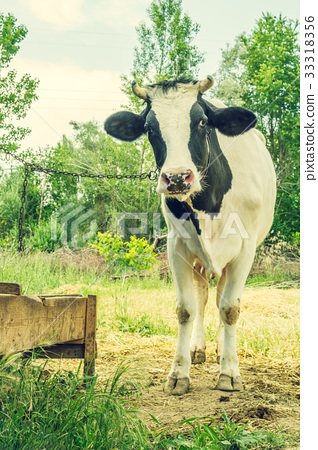 Dairy black and white spotted cow in the village. 33318356