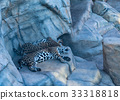 two leopards sleeping in the zoo 33318818