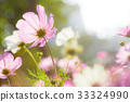 Cosmos flowers in nature park 33324990