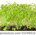 Rocket salad sprouts, arugula, front view 33346015