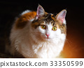 Portrait of a Beautiful Calico Cat With Big Yellow 33350599