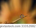 非洲菊 水滴 花朵 33352682