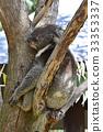 考拉 有袋類動物 天竺寺動物園 33353337