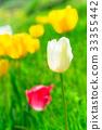 Tulip Flowers,in Shiroyone Senmaida,Noto,Ishikawa 33355442