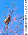 Brown-eared Bulbul bird,in Tachikawa,Tokyo,Japan 33355449