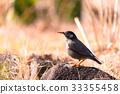 Wagtail bird,in Tachikawa,Tokyo,Japan 33355458