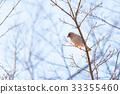 Oriental Greenfinch bird,in Tachikawa,Tokyo,Japan 33355460