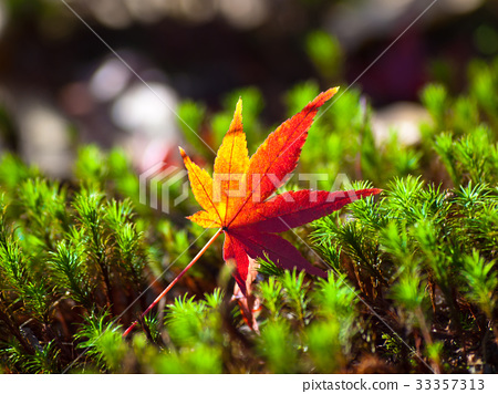 scattered maple, autumn leaves, autumnal tints 33357313