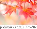 단풍, 단풍 나무, 단풍놀이 33365207