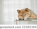 柴犬 丛林犬 狗 33365364