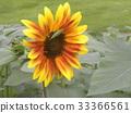 ดอกไม้,ฤดูร้อน,หน้าร้อน 33366561