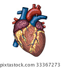 heart, anatomical, sketch 33367273