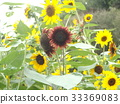ดอกไม้,ฤดูร้อน,หน้าร้อน 33369083