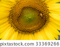 Closed up of sunflower plant with bee background 33369266