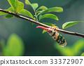 Lanternflies, FULGORID PLANTHOPPERS ,Lantern 33372907