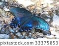 中国孔雀 蝴蝶 虫子 33375853